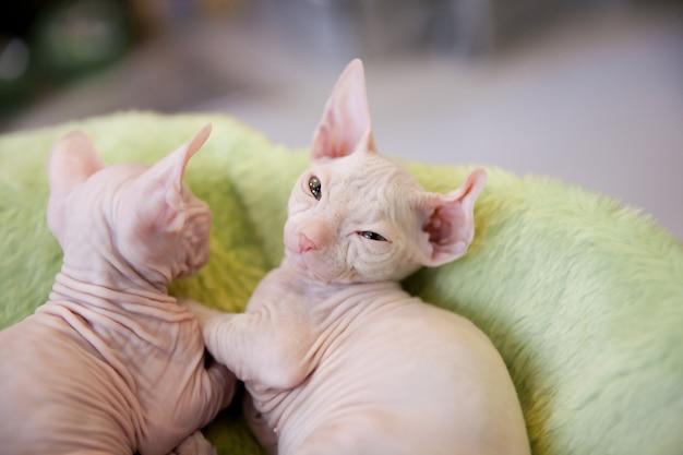 薄緑色の毛皮のカーペットの上に白い生後2ヶ月のドンスフィンクス猫