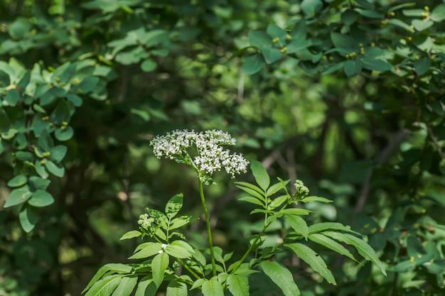 Белые цветы валерианы в лесу. лекарственное растение используется для производства лекарств, седативных, седативных средств.
