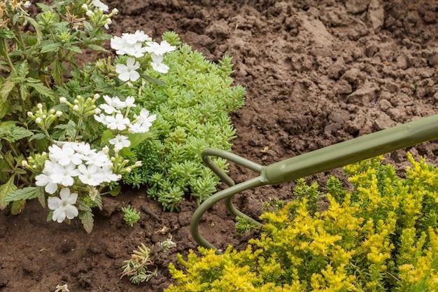 정원에 하얀 버베나 꽃이 피었습니다. 버베나 꽃과 배경에 손 갈퀴. 아름다운 꽃이 만발한 버베나.