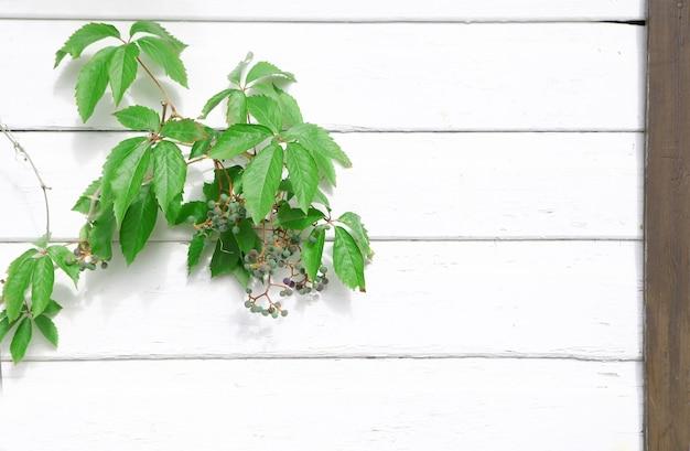 緑のブドウの枝と白い壁の木材のテクスチャ。背景の木製の壁のテクスチャ。