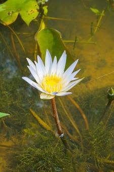 Цветок белой кувшинки с желтым центром