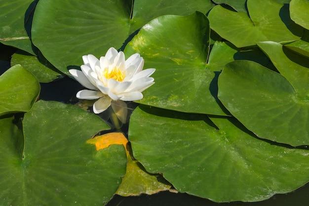 白い睡蓮-晴れた夏の日に小さな池に咲く蓮