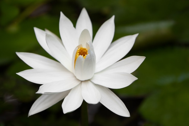 White water-lily in pond close-up