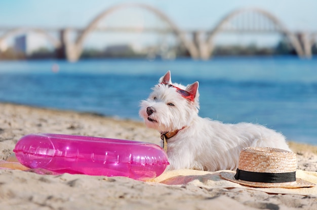 White west highland terrier laying at the dog friendly sandy beach