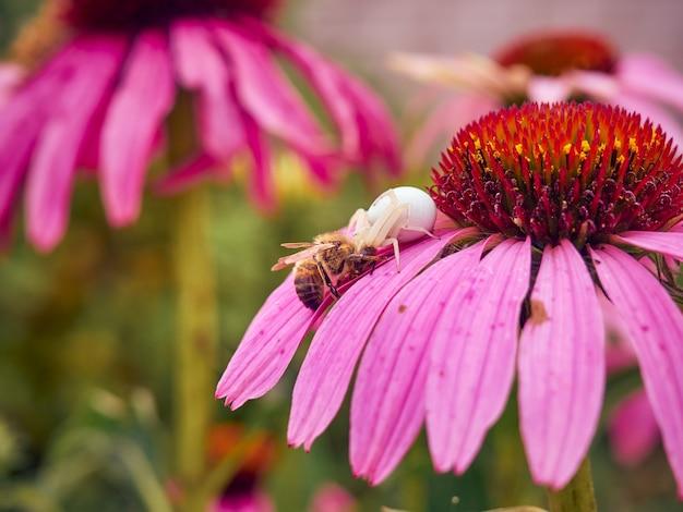 화이트 위도우 거미 (latrodectus pallidus)가 에키 네시아 꽃에 벌을 잡았습니다.