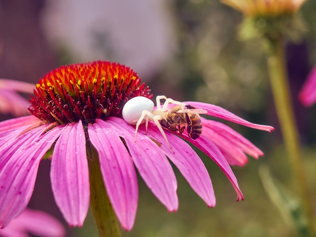 White widow spider (latrodectus pallidus) caught a bee on flower of echinacea