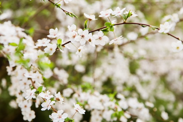 White wild cherry flowers blooming on branch