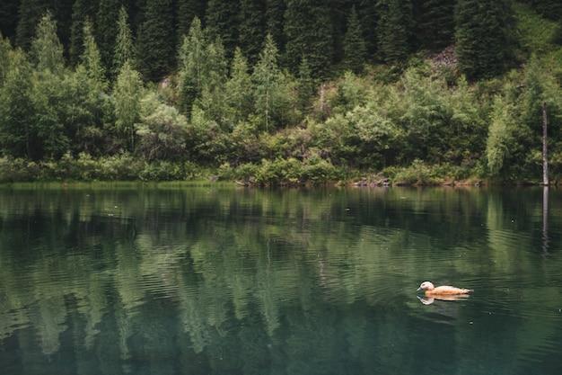 白い野生のカモは山の湖で夏に泳ぐ