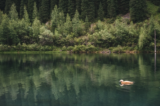 White wild duck swims in summer on a mountain lake