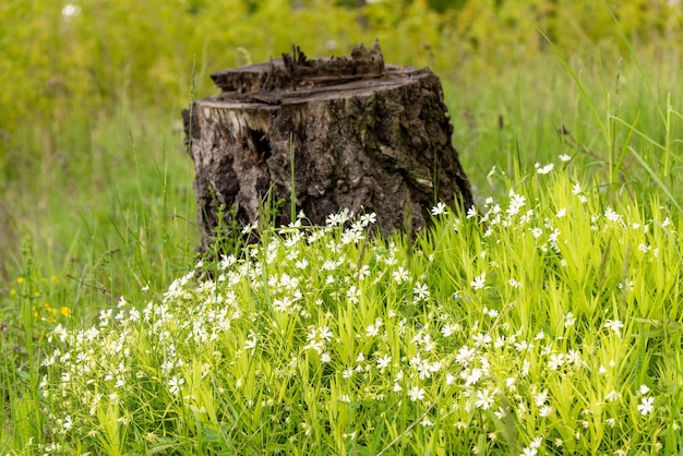 White wild flowers on the background of the stump.