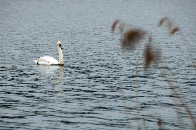 여름에 강에 떠 있는 하얀 야생 백조