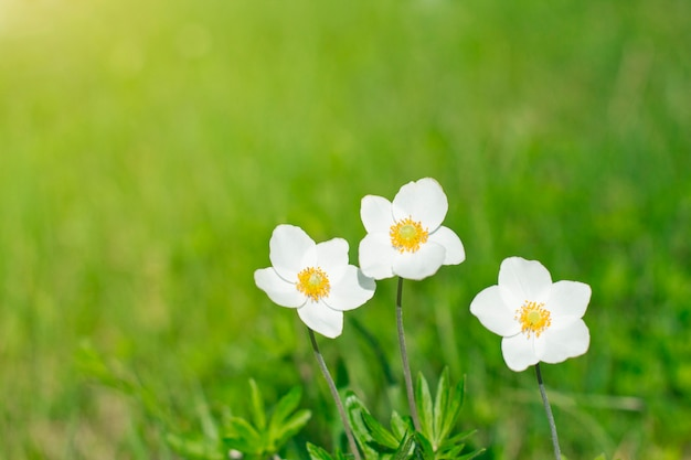 White wildflowers on a background of grass
