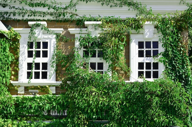 White window on green wall with climbing plant.