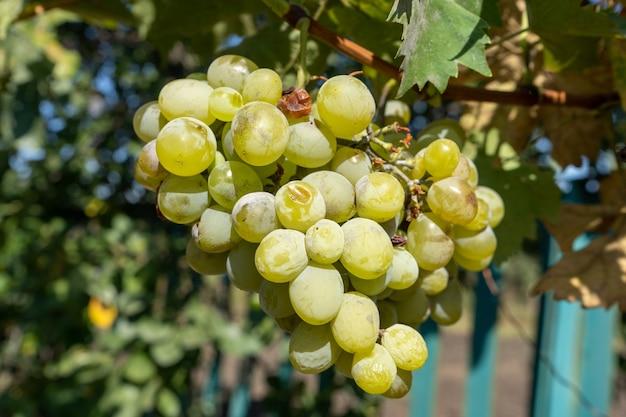 庭での白ワイン用ブドウの収穫