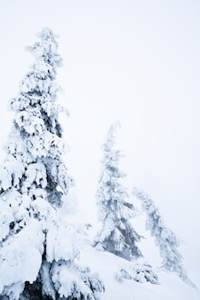 White winter fur trees covered with snow in forest
