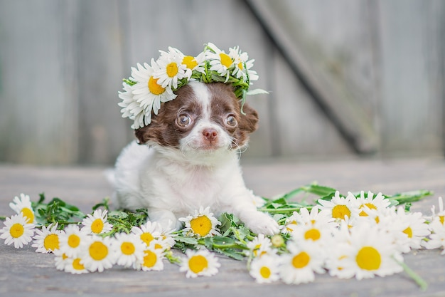 White with brown ears chihuahua puppy sitting, on his head a wreath of daisies, on a gray wooden background.