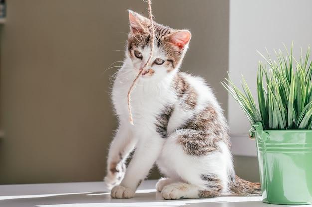 회색 줄무늬가 있는 흰색 고양이 3-4개월은 창과 관엽식물 옆에서 황마줄을 가지고 노는다. 장난이 심하지 않은 새끼 고양이