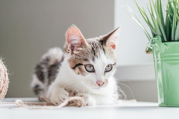 회색 줄무늬가 있는 흰색 고양이 3-4개월은 공과 관엽식물 옆에 황마줄 타래를 가지고 노는다. 장난이 심하지 않은 새끼 고양이