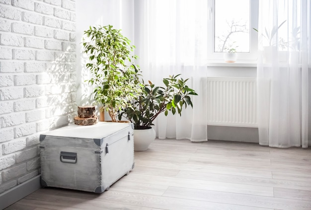 흰색 나무 상자와 ficus 식물은 밝은 색상의 거실 내부에 흰색 화분에 있습니다. 백그라운드 창