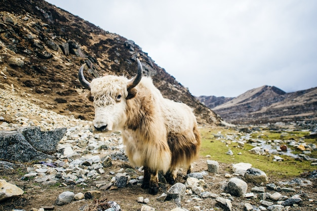 White yak on the background of mountain pasture in himalayas, nepal