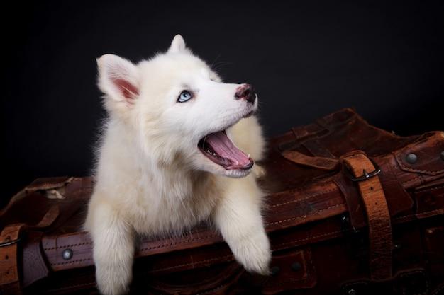Белый щенок якутской лайки в студии на черном фоне с чемоданом