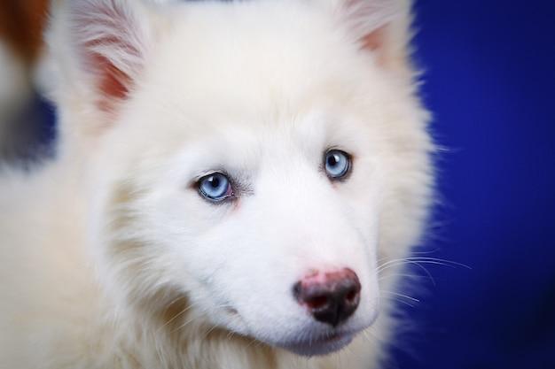 흰색 야쿠트 라이카(yakut laika) 강아지, 웃고 있는 재미있는 감정적 개, 파란색 스튜디오 배경