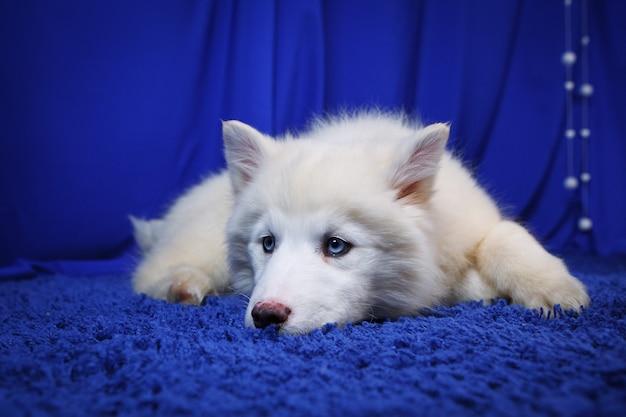 Белый щенок якутской лайки, смеющаяся смешная эмоциональная собака, на синем фоне студии