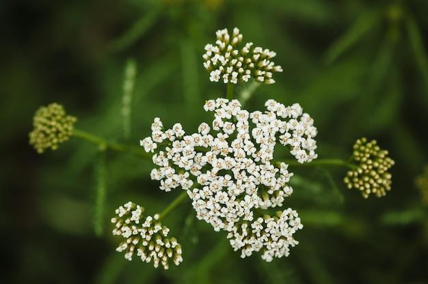 흐린 녹색 잔디에 흰색 톱풀