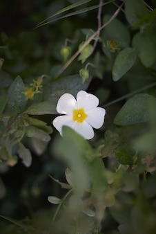 White and yellow cinquefoil surrounded by greenery with a blurry background