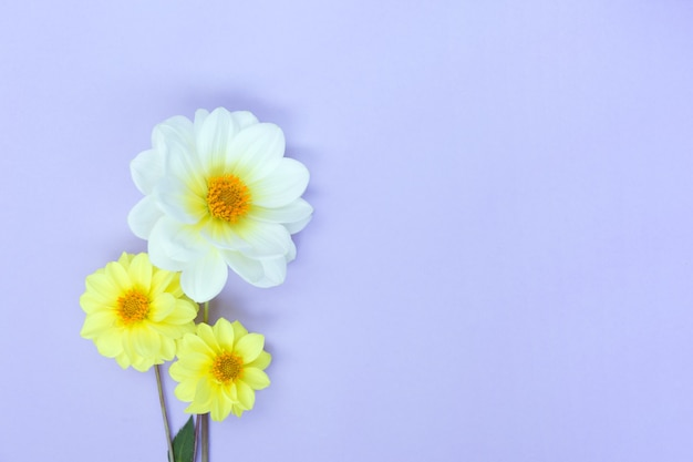 White and yellow dahlia flowers on light violet background. copyspace.