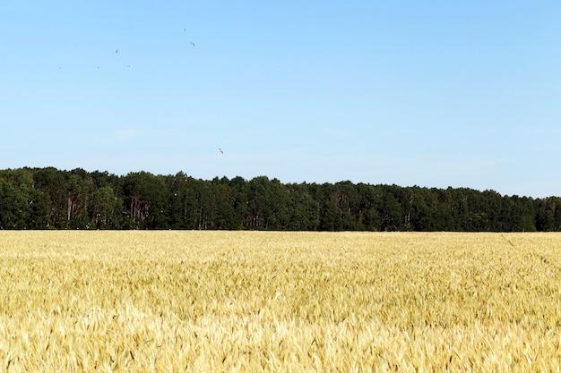 Бело-желтое поле со злаками в середине лета до их созревания