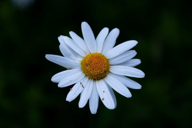 White and yellow flower in a dark background