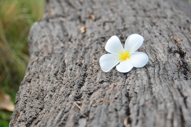 White and yellow plumeria flower on the wooden log