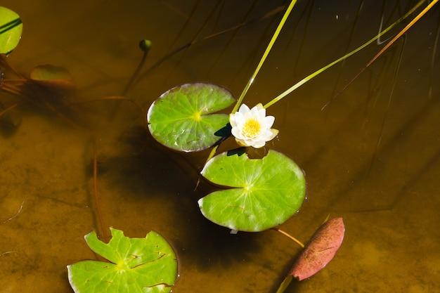 Белая, желтая речная лилия в дикой природе.