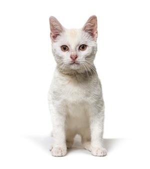 Белый молодой кроссбридный кот, глядя вверх изолирован на белом