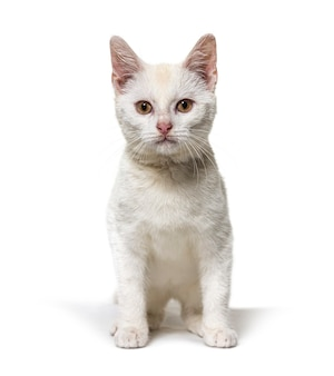 White young crossbreed cat looking up isolated on white