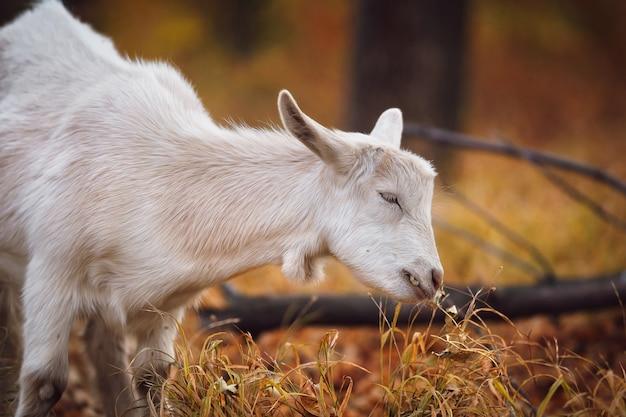 Белый молодой козел в осеннем лесу жует листья