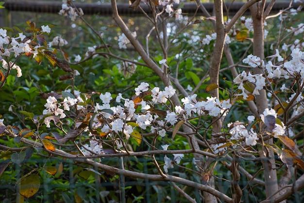 White ype, 브라질의 작은 흰색 ype의 아름다운 꽃. 자연광, 선택적 초점.