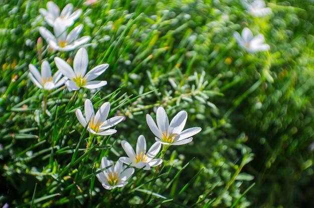 地面に白いゼパランザスの花の庭。