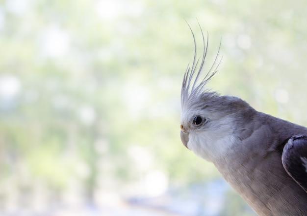 Белолицый попугай корелла смотрит в окно на размытом фоне для текста