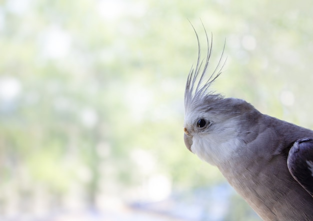 Whitefaced parrot cockatiel looks out the window on a blurred background place for text