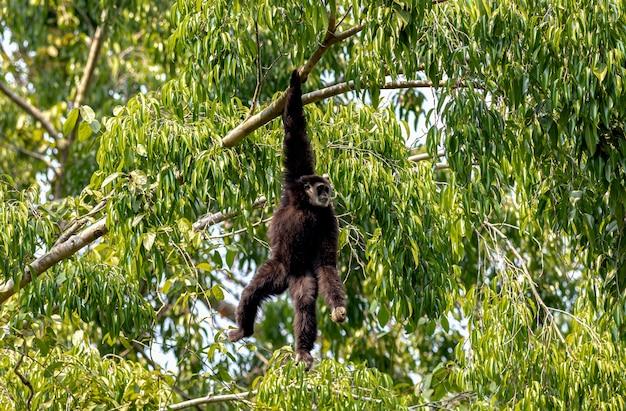 흰손긴팔원숭이 긴팔원숭이가 나뭇가지에 달린 긴팔원숭이