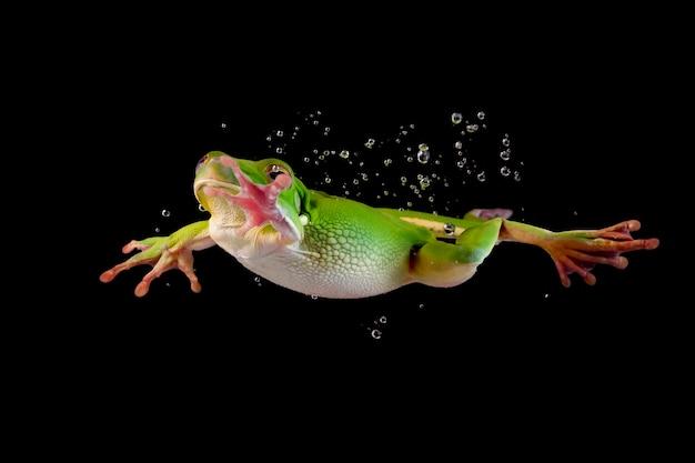 白い唇のカエルのジャンプは、黒い背景で隔離