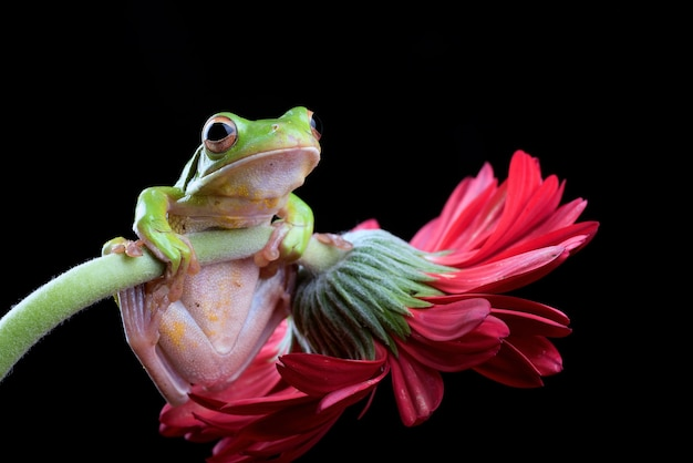 Whitelipped tree frog perched on chrysanthemum flower
