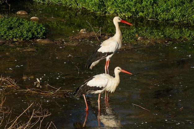 Whitestorks in a pond