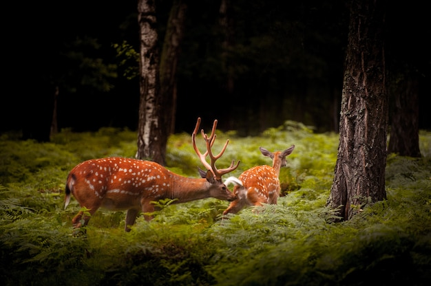 Whitetail deer buck стоя в российском лесу.
