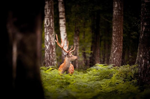 러시아 숲에 서 있는 whitetail 사슴 벅.