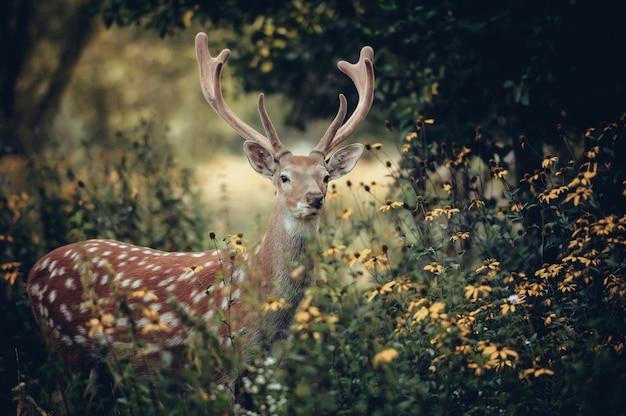 秋の森に立つオジロジカ