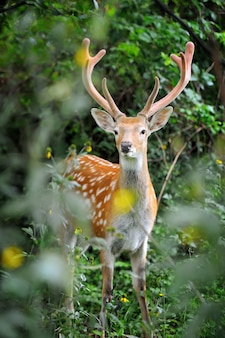 Белохвостый олень, стоящий в летнем лесу