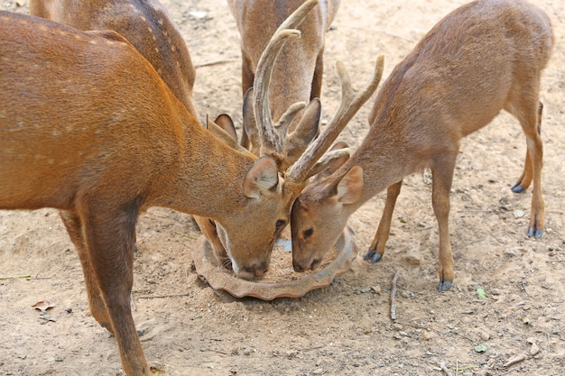 Whitetail deer yearlings eating